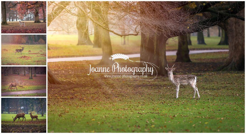 Deers at Tatton Park