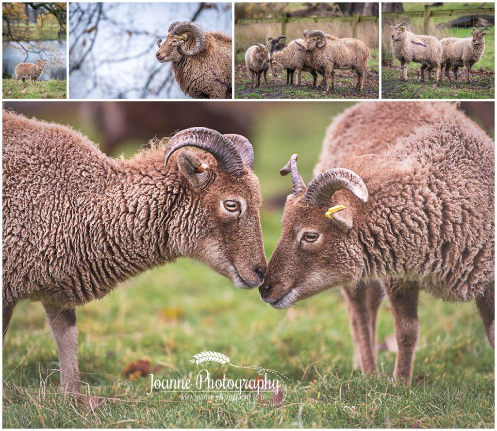 Sheep at Tatton Pard