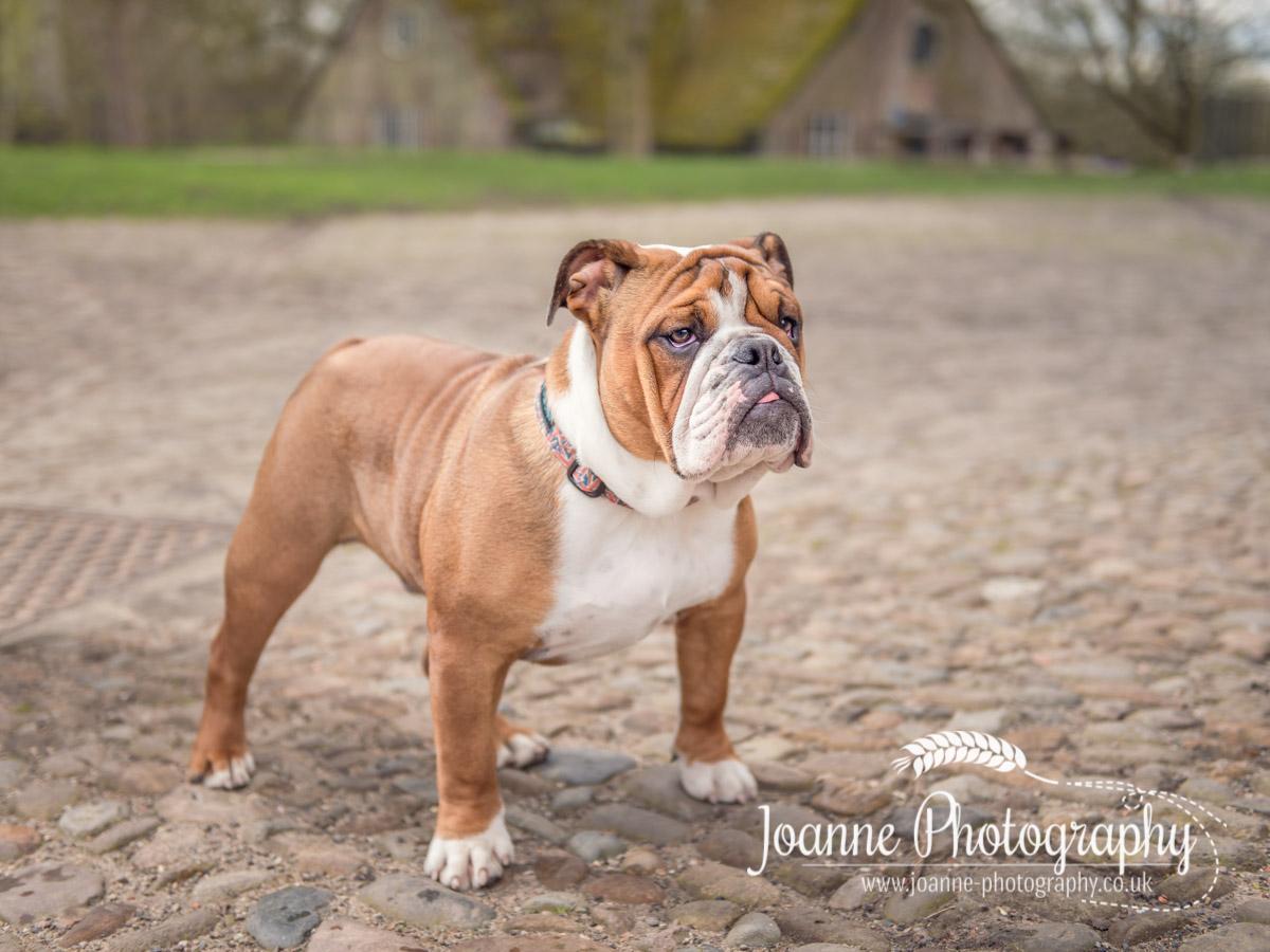 British Bulldog – Dunham Massey