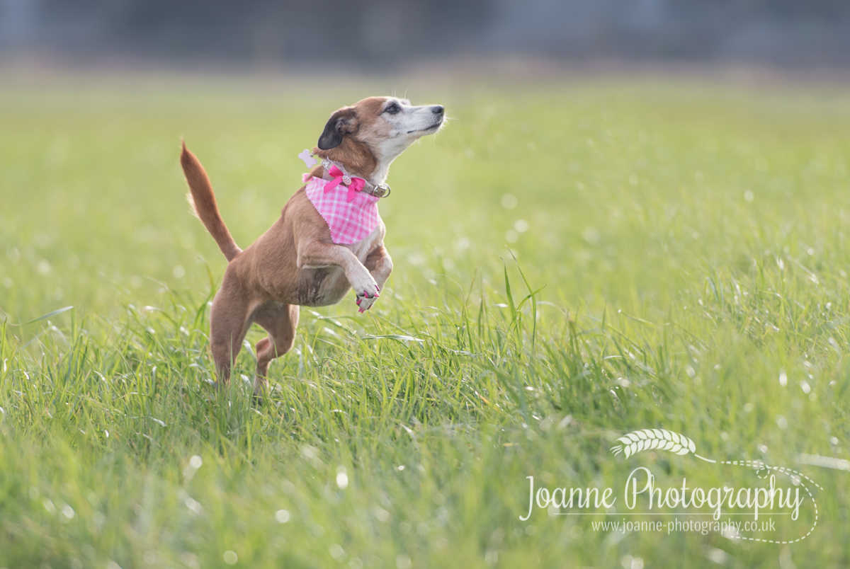 A dog photography session in Lymm, Cheshire