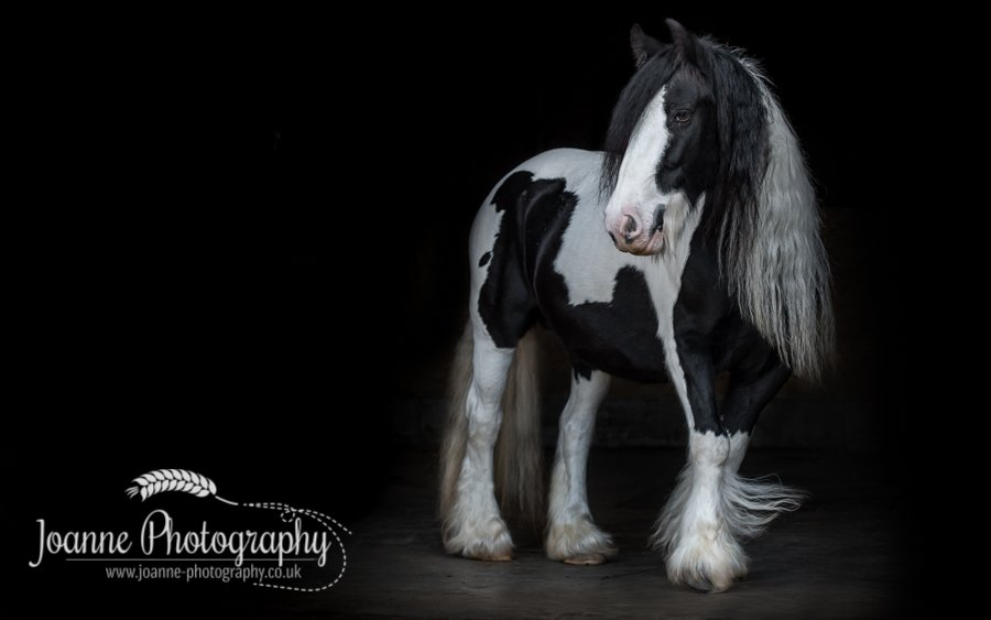 Black Background Horse Portraiture